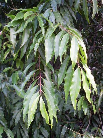 Waterhousea Floribunda Wikipedia