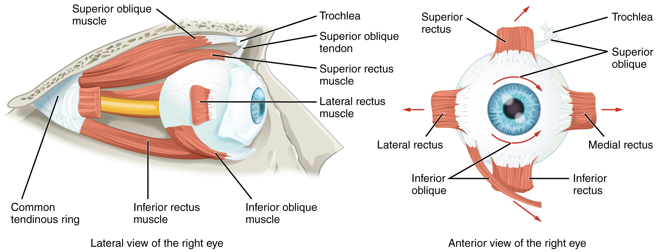 parts of the eyelid diagram 2005 volvo xc90 wiring anatomy eye and extraocular muscles radiology