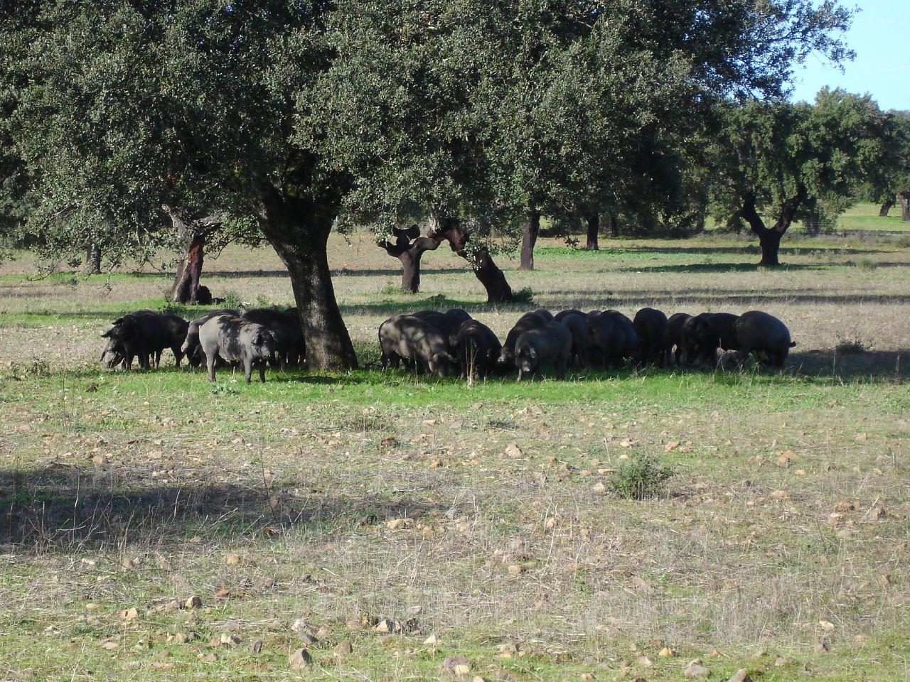 English: A dehesa in Extremadura, Spain. Black...