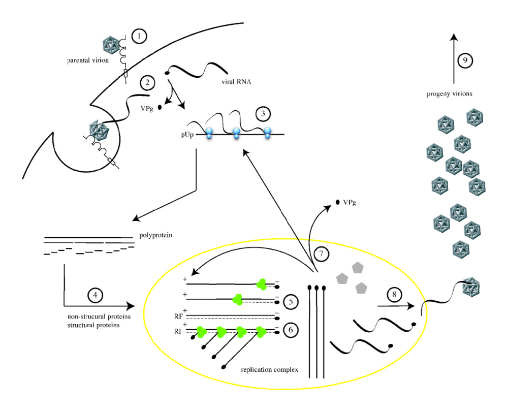 medium resolution of file poliovirus life cycle png