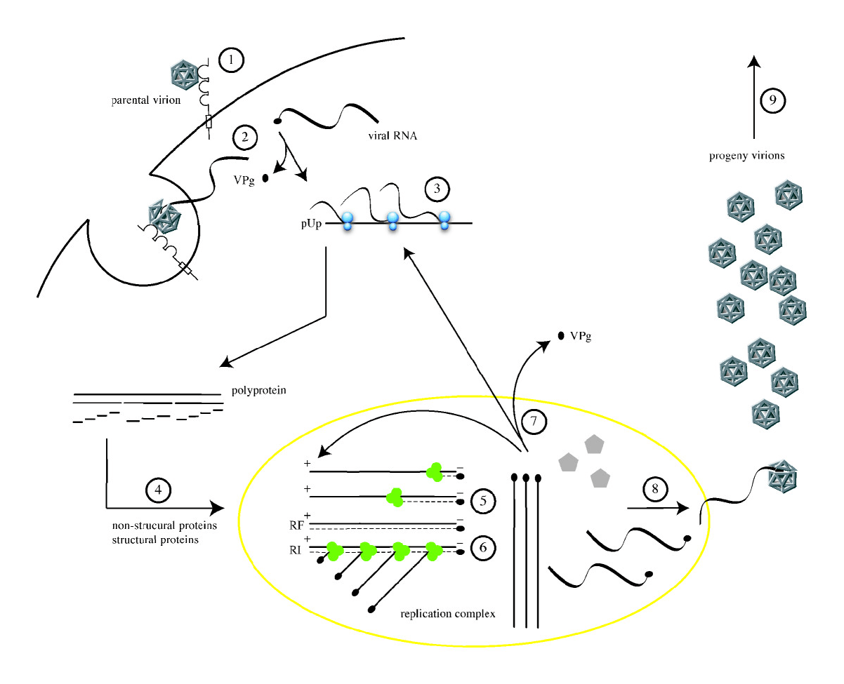 hight resolution of file poliovirus life cycle png
