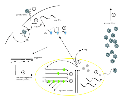 small resolution of file poliovirus life cycle png