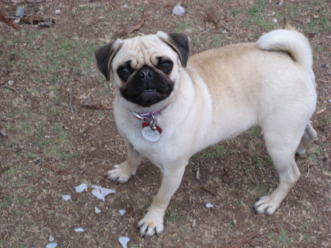 Pug Vanessa fawn Puppies For Sale In Md