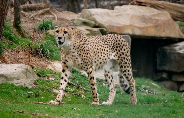 File Acinonyx Jubatus -cleveland Metroparks Zoo Ohio - Wikimedia Commons