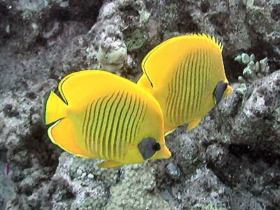 Fish Wallpaper Hd Bluecheek Butterflyfish Wikipedia