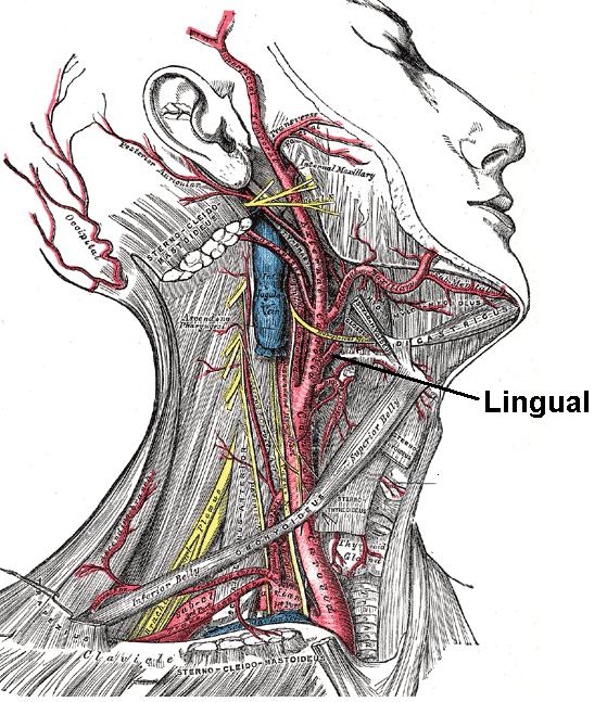 Lingual artery - Wikipedia