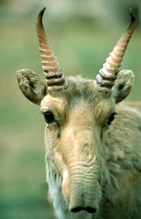 A close-up of the saiga's distinctive face.