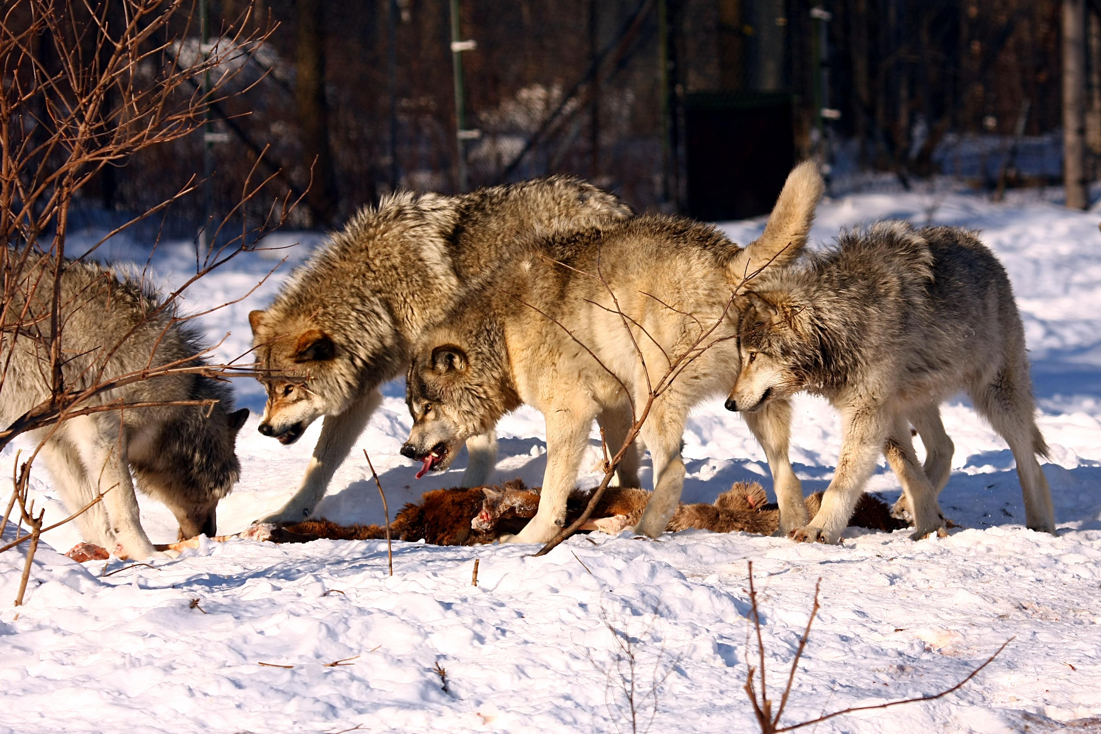 Bedeutung Wolf Willkommen Wolf In Niedersachsen Beim Nabu