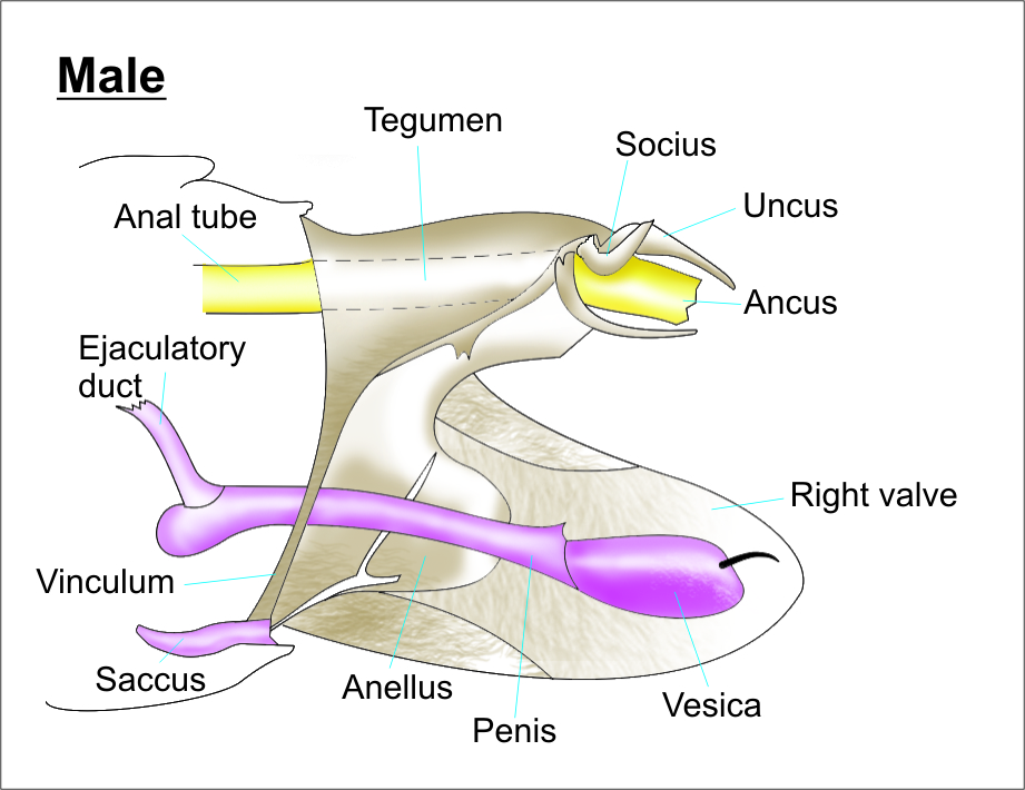 parts of a butterfly diagram 2000 ford explorer suspension lepidoptera genitalia - wikipedia