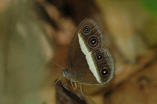 Meet the Orsotriaena Medus.