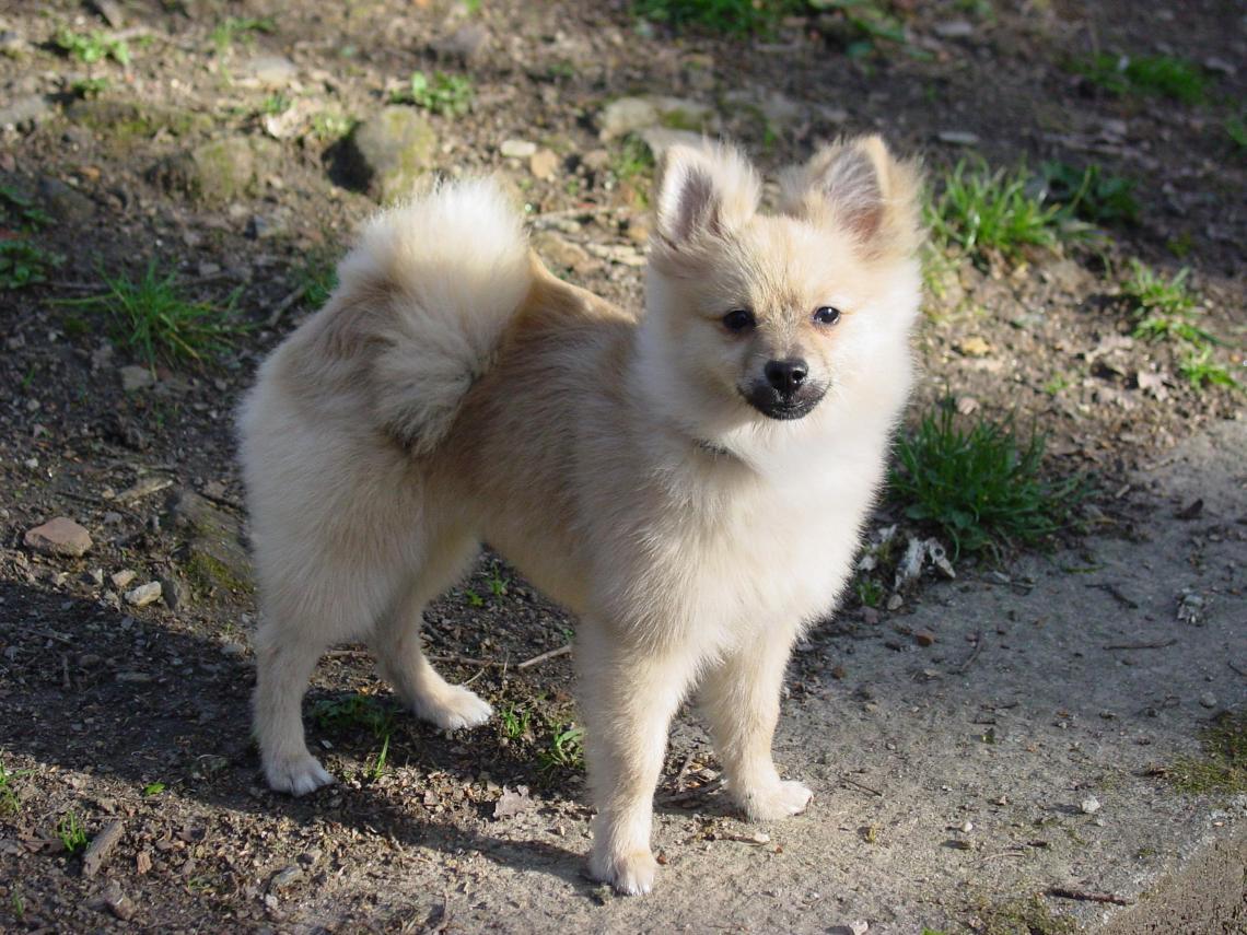 Pomeranian dog Good Dog Food Brands For Pitbulls