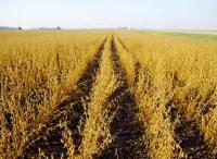Field of soy, ready to harvest. Image via Wikimedia.