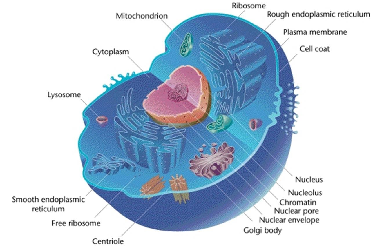 Olivares Nicholas 3rd Prokaryote Vs Eukaryote Cells