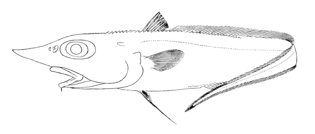 Trachyrincus scabrus