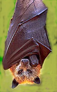 Golden crowned fruit bat (Acerodon jubatus) Re...