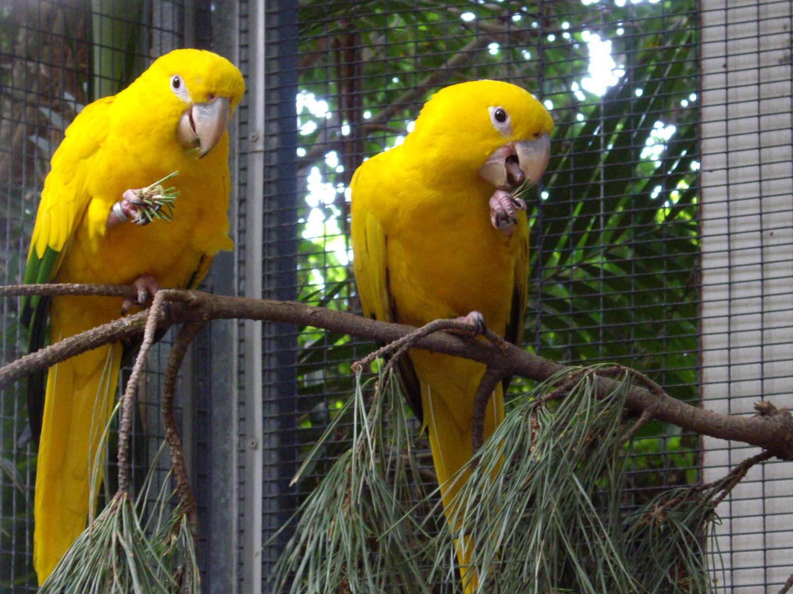 Adult golden conures