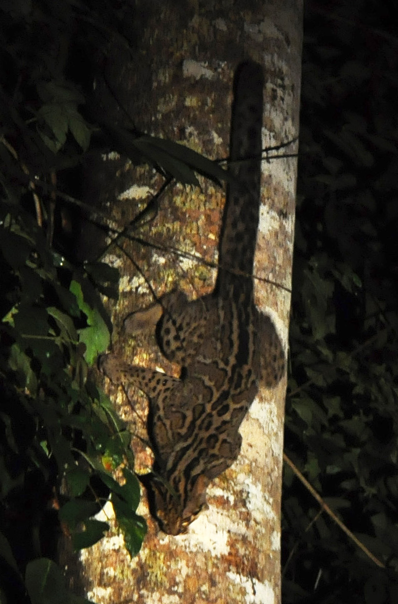Photo of a Marbled cat (Pardofelis marmorata) spotted in Danum Valley Conservation Area, Borneo, by Johan Embréus 2009