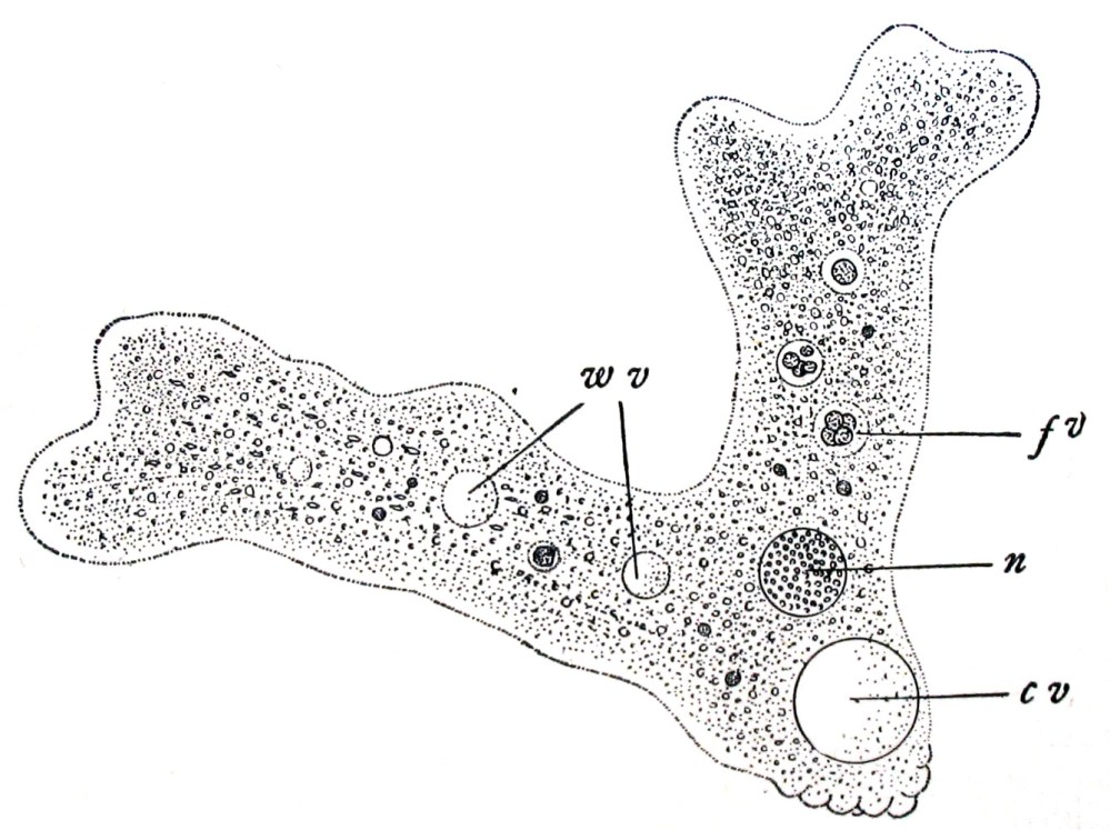 medium resolution of label amoeba diagram
