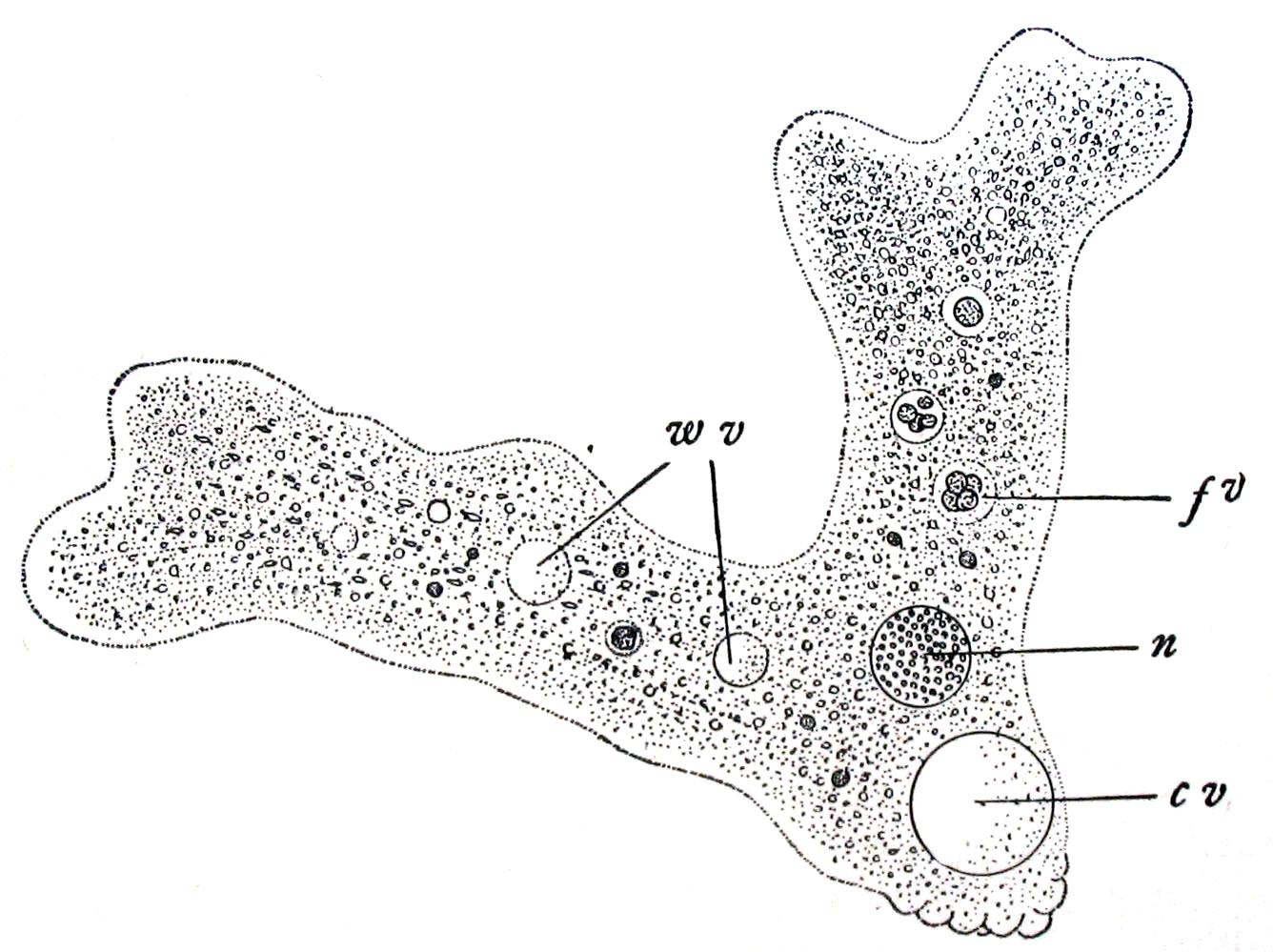 hight resolution of label amoeba diagram