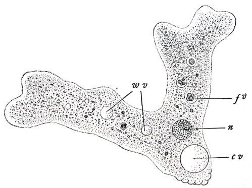 small resolution of label amoeba diagram