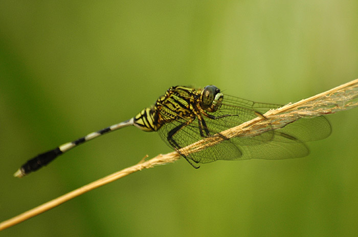 FileArmy dragonflyjpg  Wikimedia Commons
