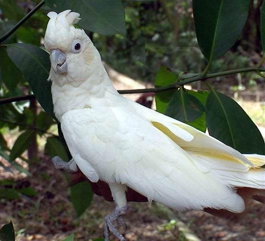 Redvented cockatoo  Wikipedia