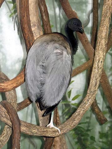 trompetvogel  WikiWoordenboek