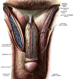 lower abdominal scrotum diagram [ 780 x 1051 Pixel ]