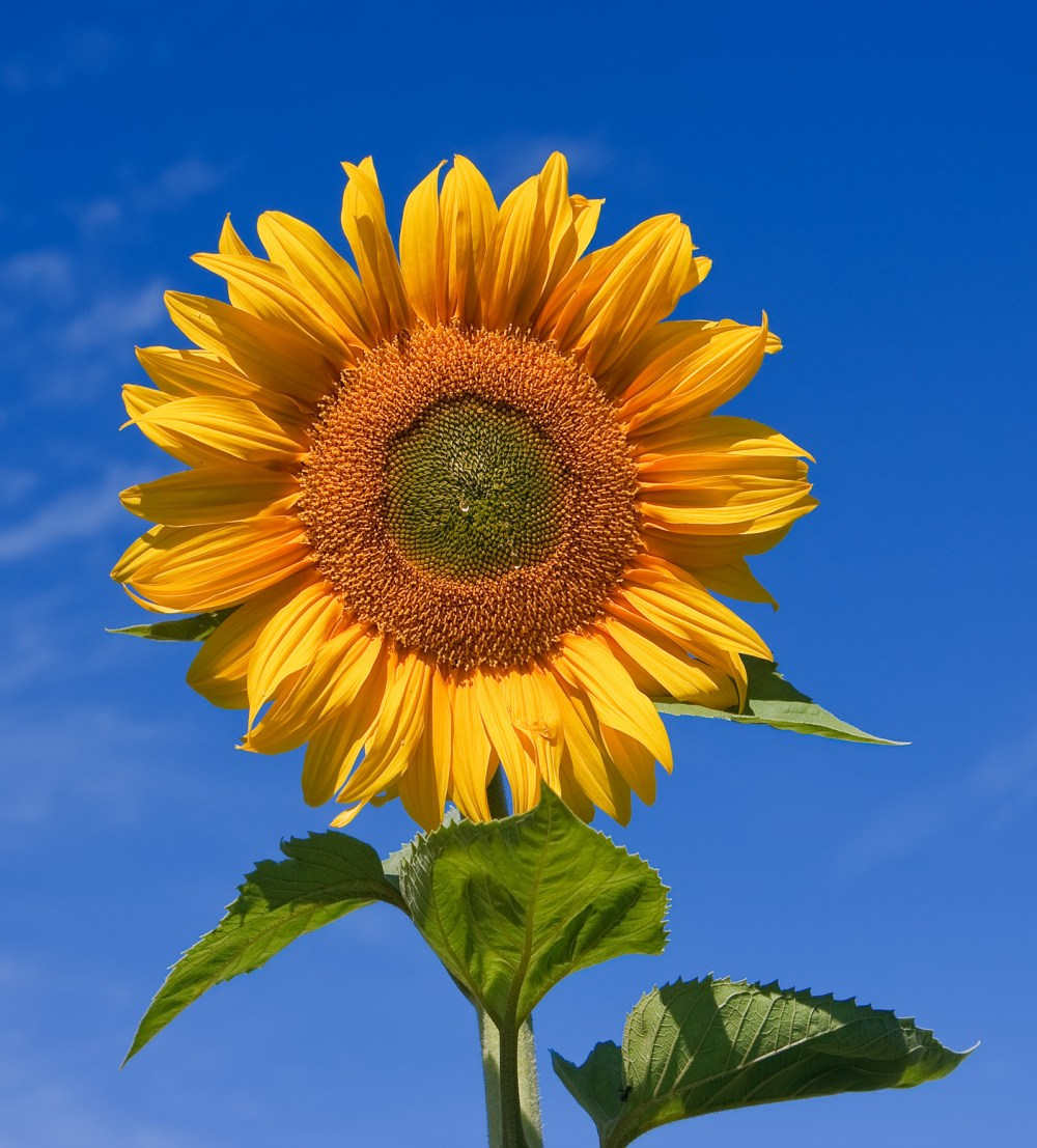 medium resolution of helianthus