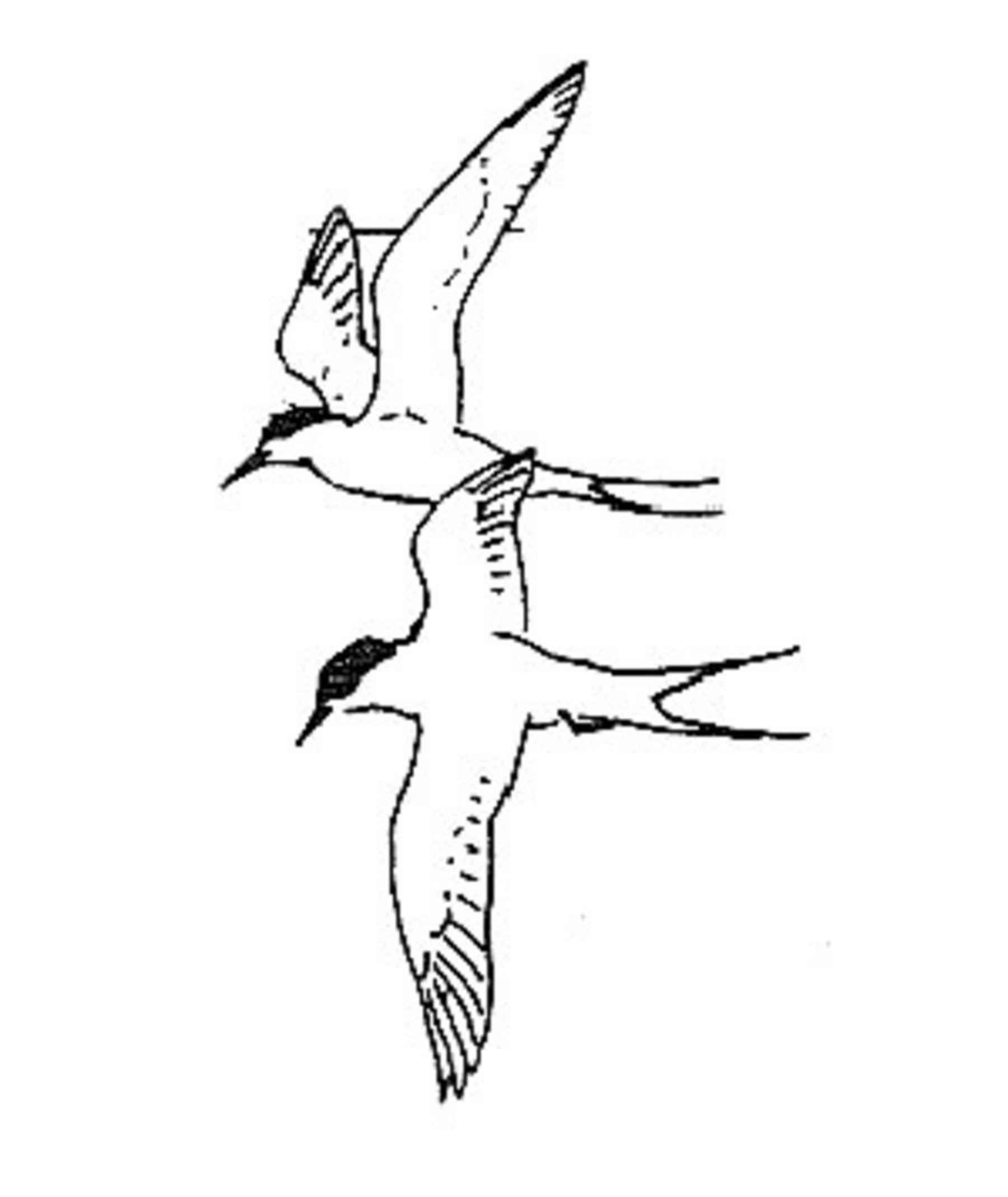 File Black And White Line Art Of Two Arctic Terns