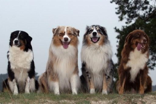 tri-color Australian shepherd dog, red merle Australian shepherd dog, blue merle Australian shepherd dog, red Australian dog shepherd dog