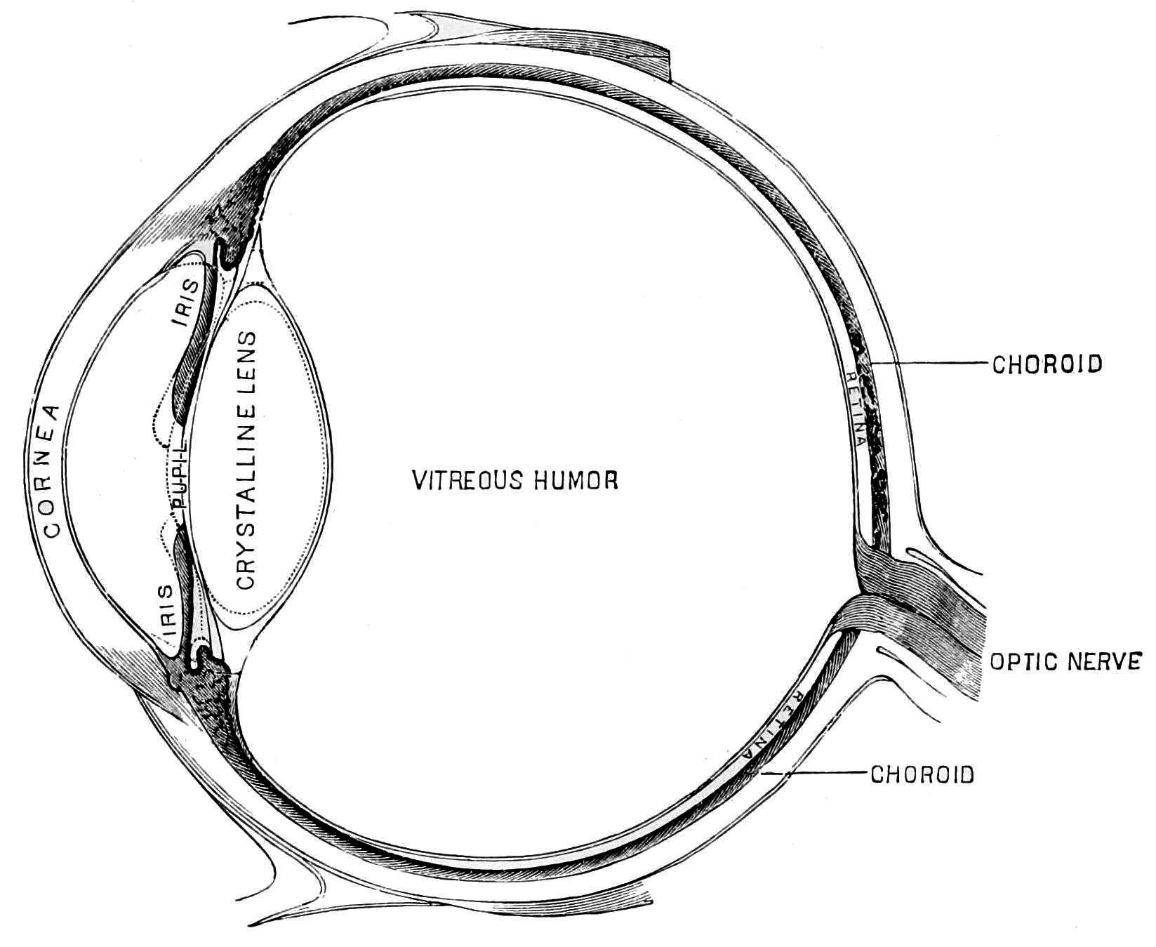 File Psm V45 D215 Diagrammatic Section Of The Human Eye
