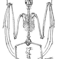 Bird Bone Structure Diagram Of Perfect Flower Lily File Psm V09 D563 Skeleton Flying Fox Jpg Wikimedia