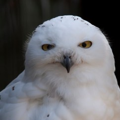 Snowy Owl Adaptations Diagram Nitrous Oxide System Wiring The Top Ten Most Beautiful Owls In World Youtube