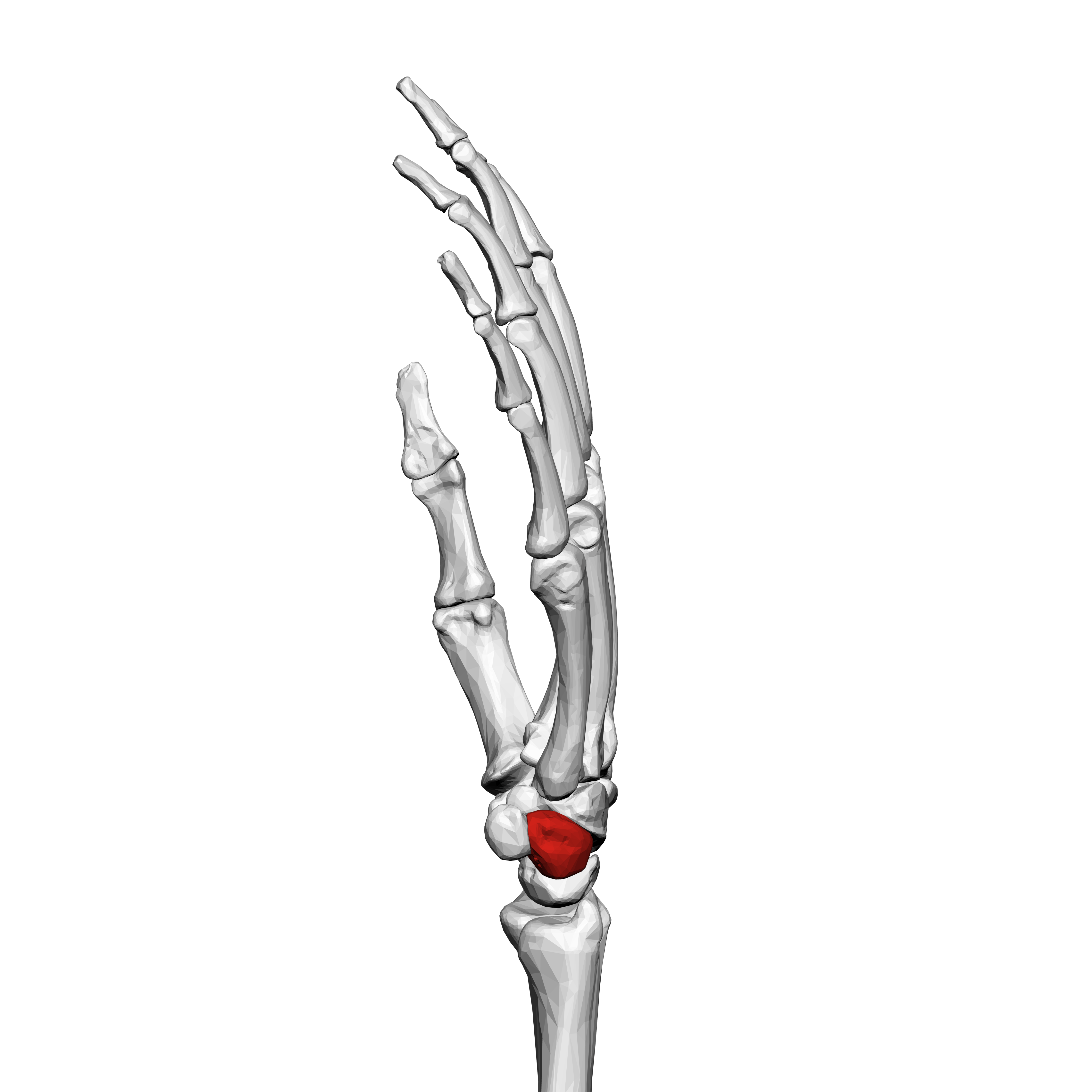 File Triangular Bone Left Hand 02 Ulnar View
