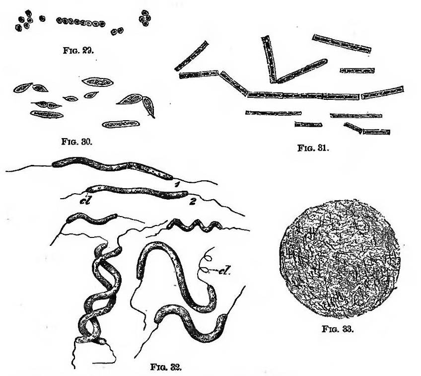 File:Bacteria (A Textbook of Animal Physiology, 1899).png
