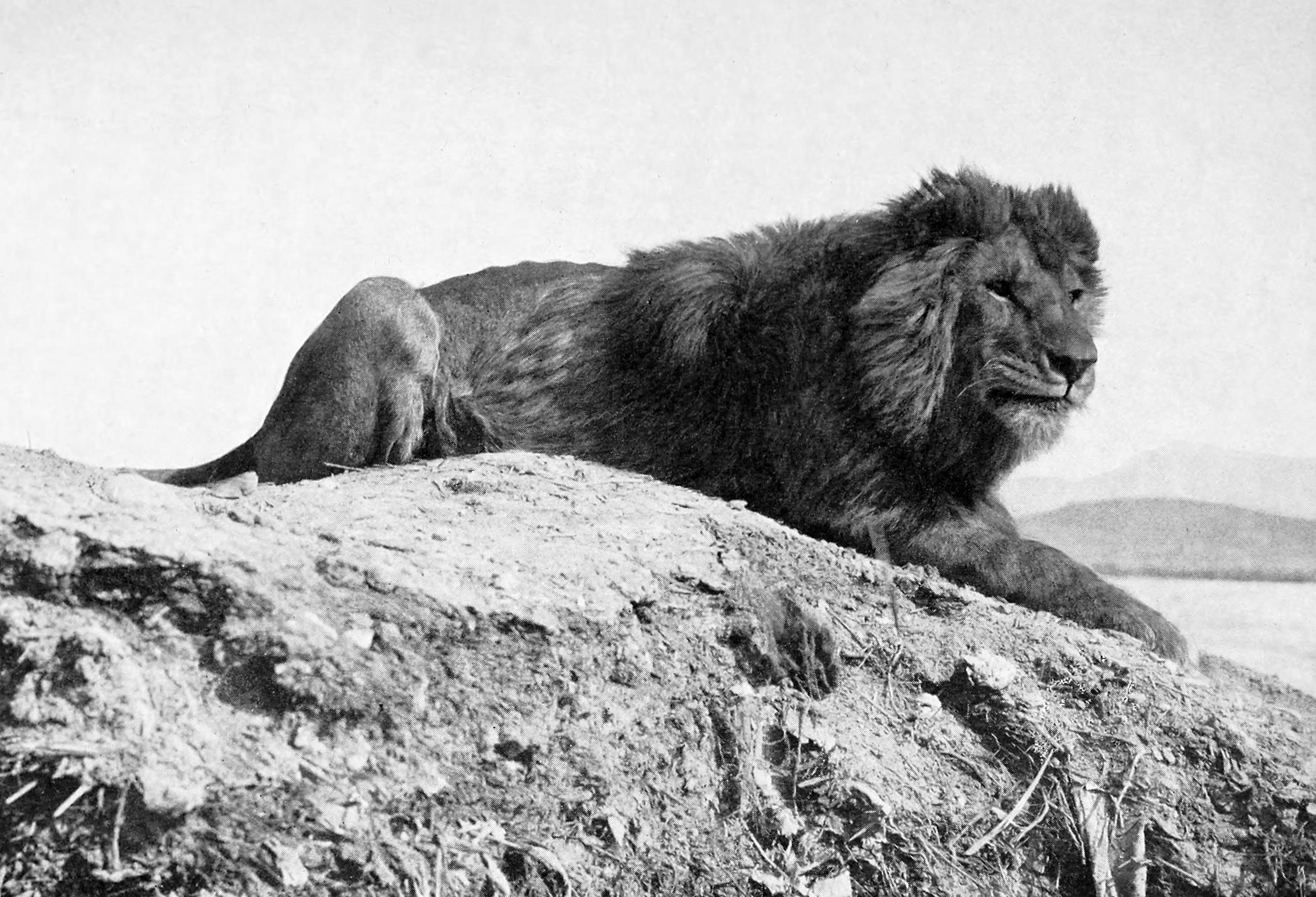 https://i0.wp.com/upload.wikimedia.org/wikipedia/commons/4/43/Barbary_lion.jpg
