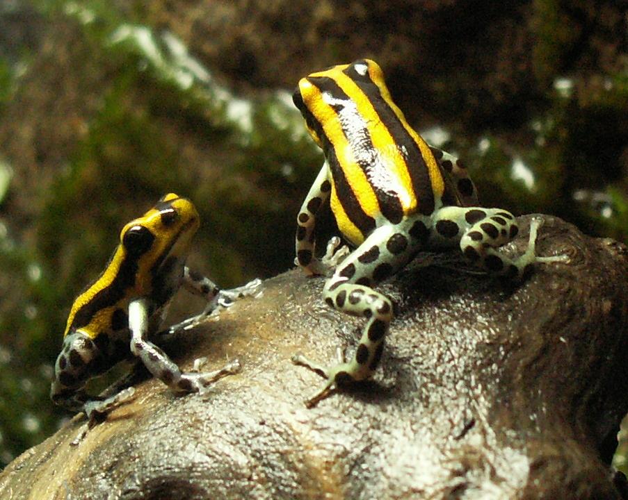 Sira poison dart frog  Wikipedia