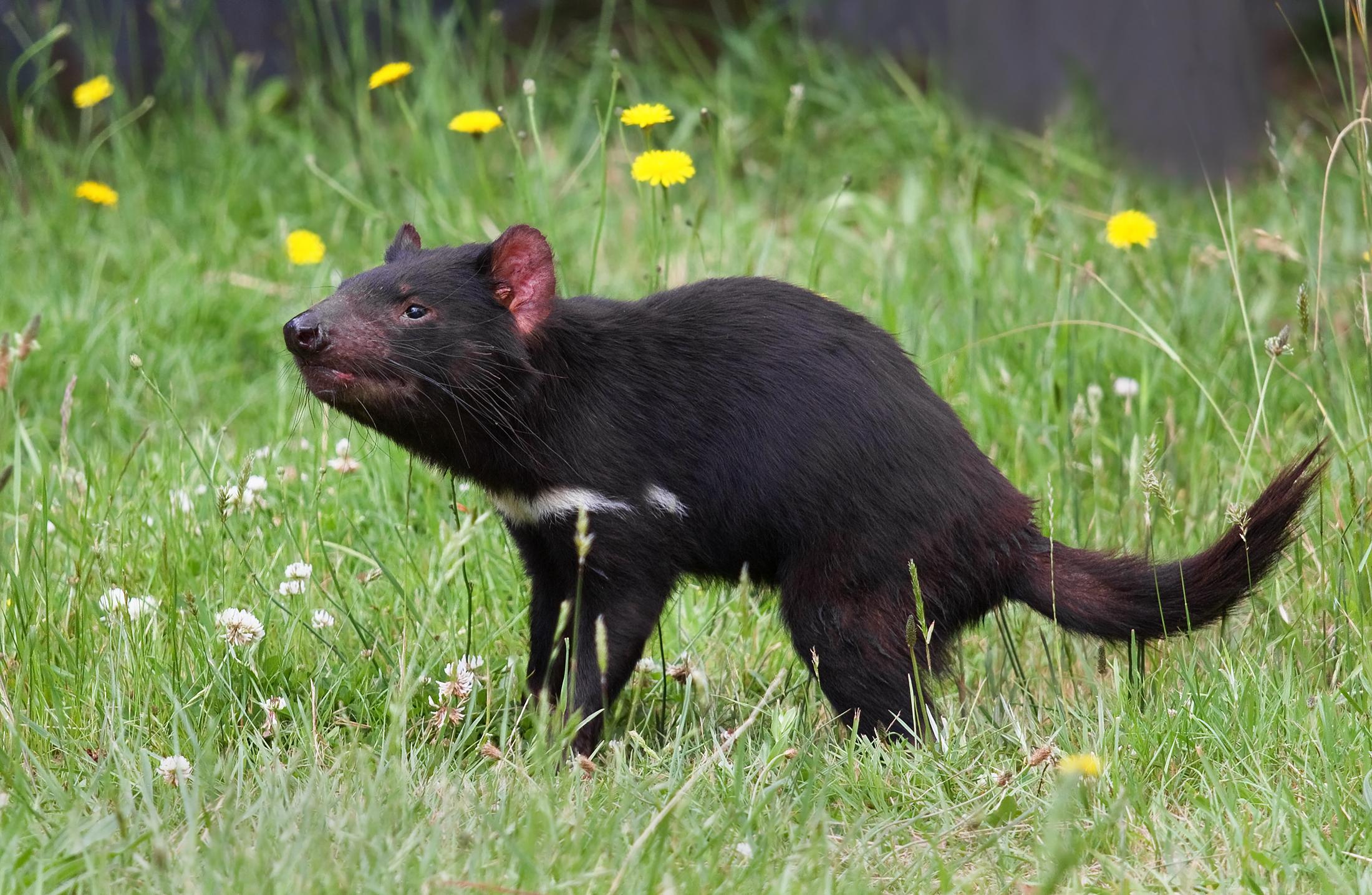 tasmanian devil wikipedia