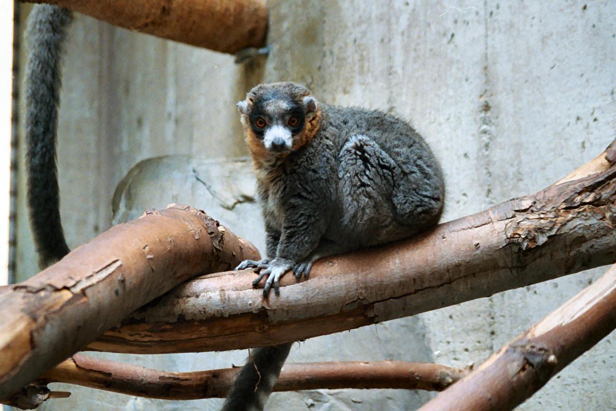 Mongoose lemur  Wikipedia