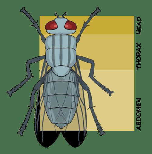 small resolution of tagma biology wikiwand rh wikiwand com arthropod diagram arthropod diagram