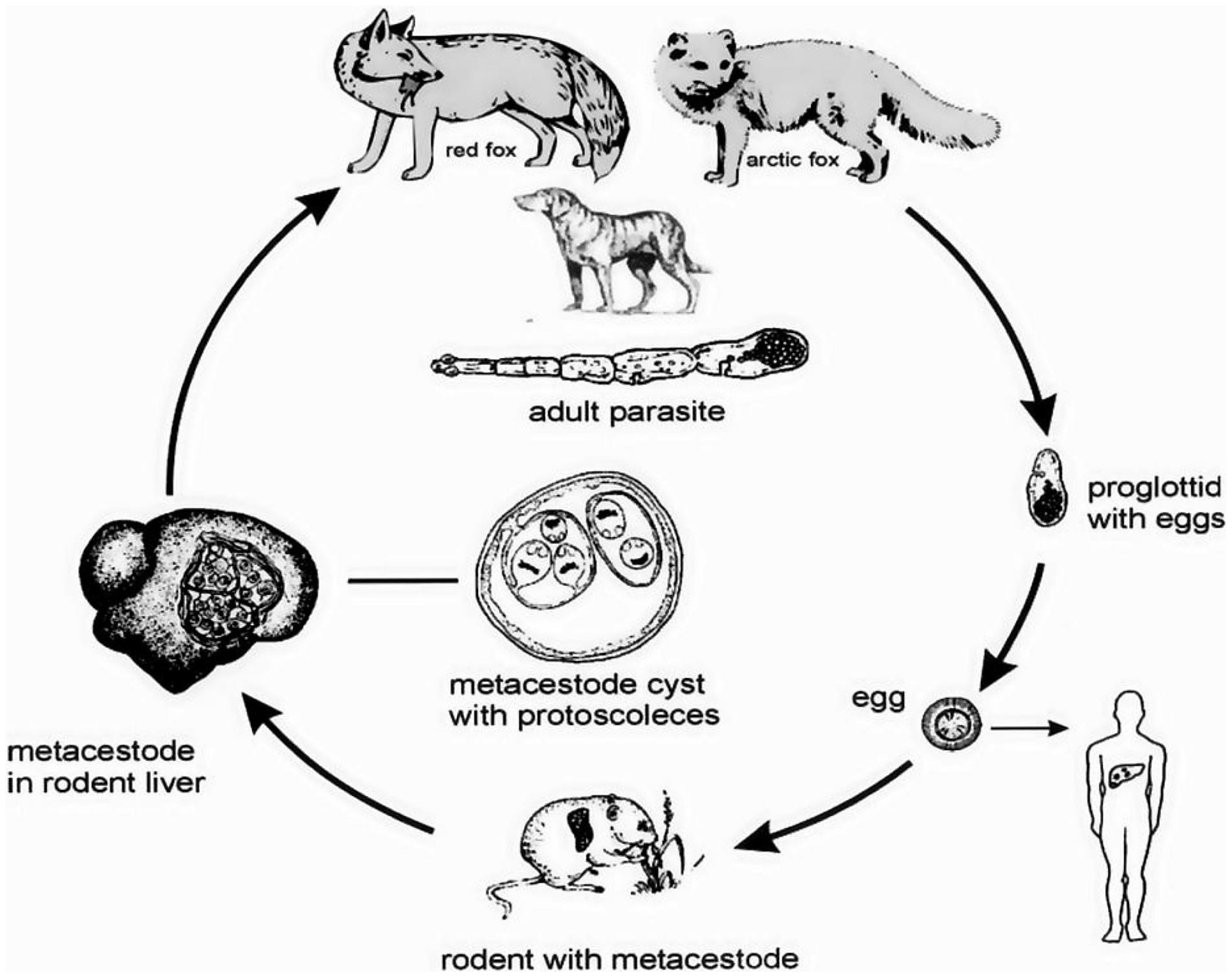 File The Life Cycle Of Echinococcus Multilocularis