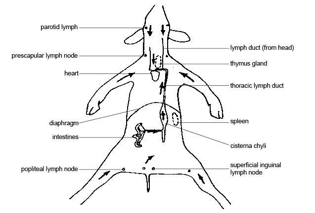 lymph node locations diagram