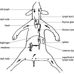 Diagram Nodes Lymphatic System Suzuki Trs Wiring Anatomy And Physiology Of Animals Wikibooks Open Circulation Lymph W Major Jpg