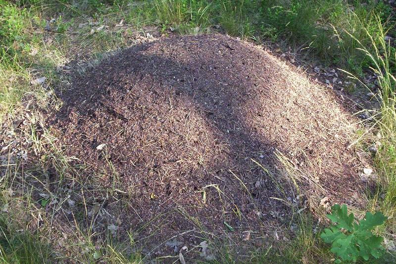 File:Ant hill cm01.jpg