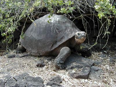 Tortuga de las Galápagos (imagen: wikipedia)