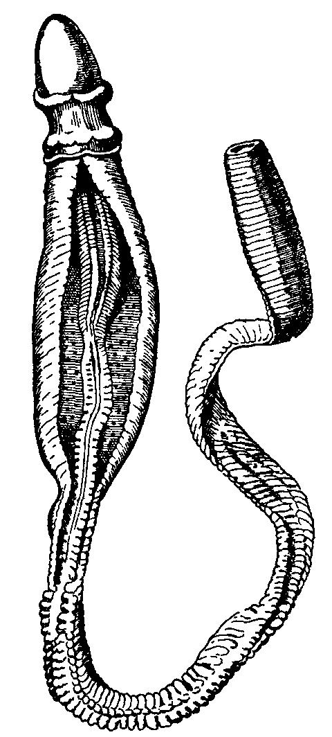 Hemichordates