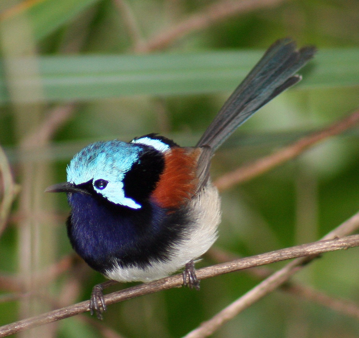 Red-winged fairy wren male