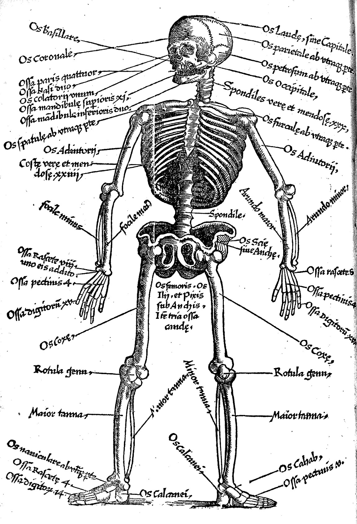 I Need A Detailed Picture Of A Skeleton With The Latin
