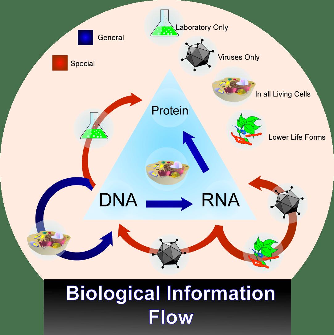 Fluxe dinformació biològica